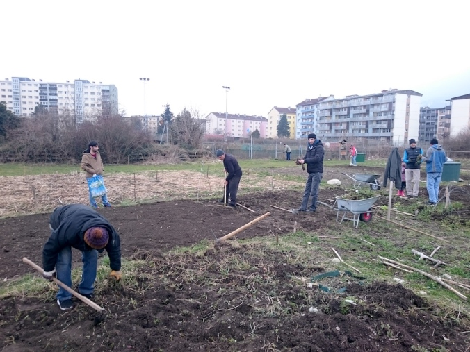 Hilfe von Asylanten bei Kartoffelfläche