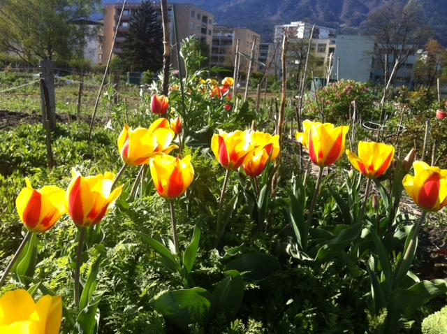 Tulpenpracht im innsGART'l