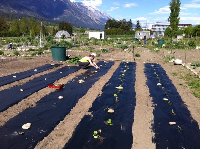 Kürbisfeld beim bepflanzen.